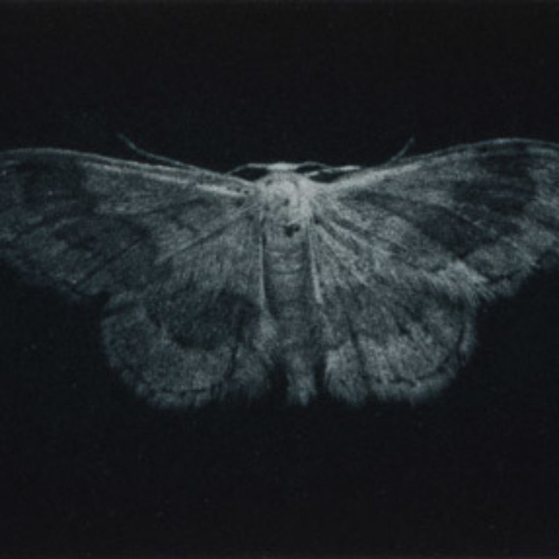 Sarah Gillespie Riband Wave Moth, Mezzotint Edition of 20 7.5 x 20 cm.