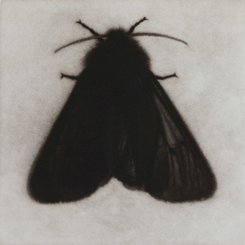 Sarah Gillespie Ruby Tiger Moth, Mezzotint Edition of 12 20 x 20 cm.