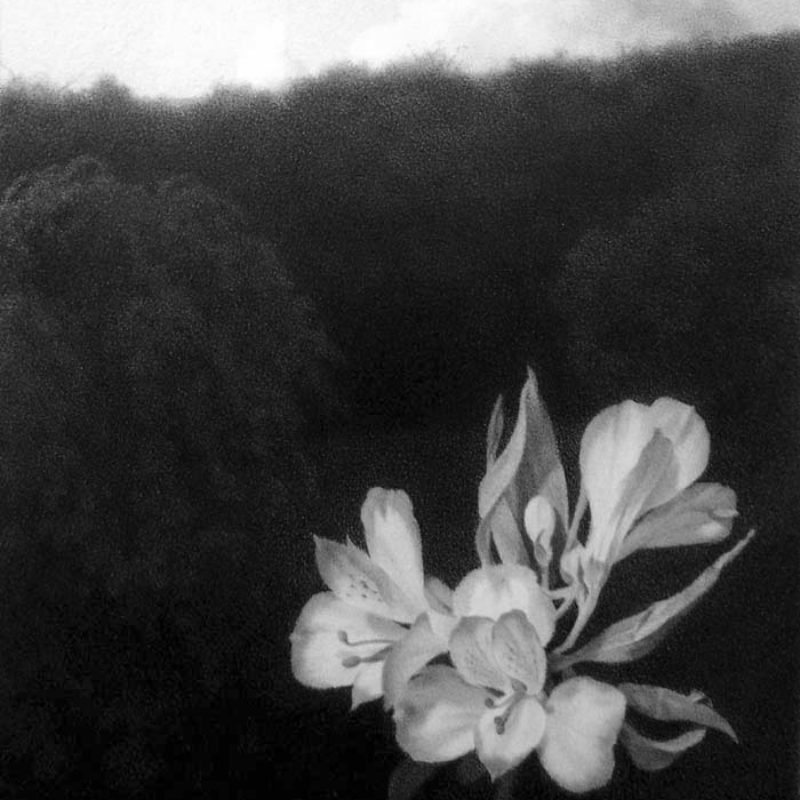 Lewis Chamberlain The White Flower Pencil on paper 20 x 14 cmweb