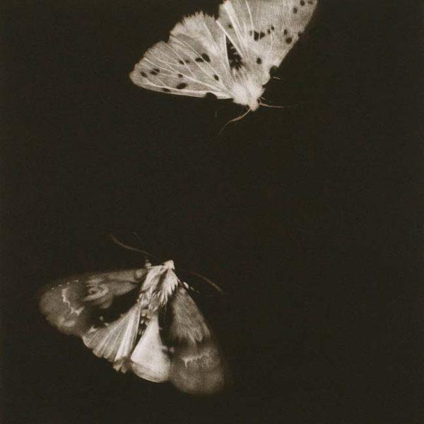 Sarah Gillespie Alder and Ermine Moths, Mezzotint Edition of 40 35 x 35 cm.