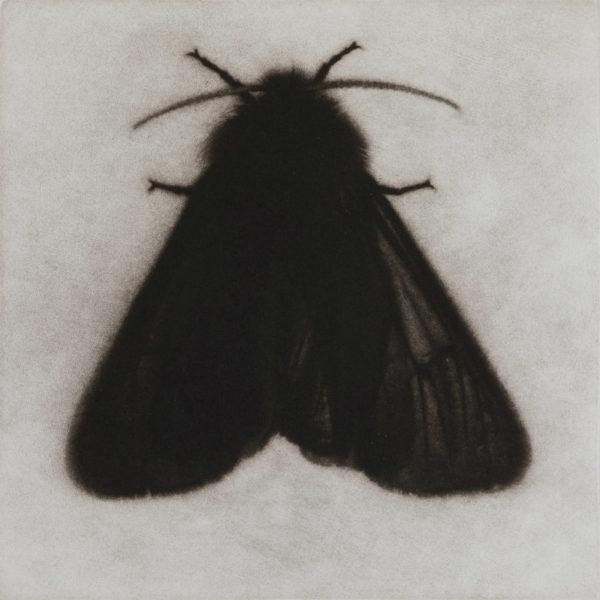 Sarah Gillespie Ruby Tiger Moth, Mezzotint Edition of 12 20 x 20 cm.