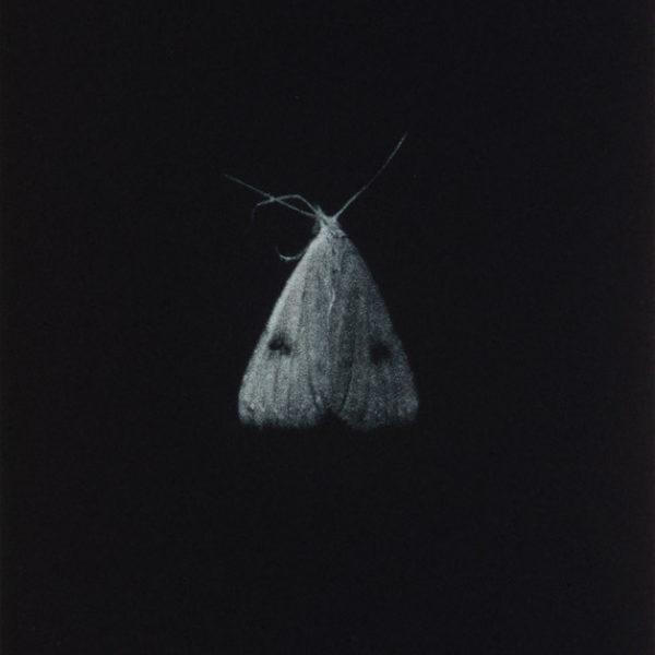 Sarah Gillespie Straw Dot Moth, Mezzotint Edition of 20 17.5 x 12.5 cm.