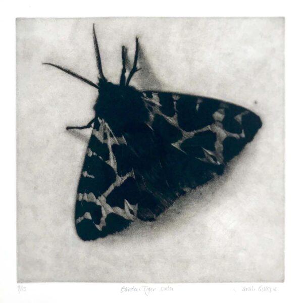 Garden Tiger Moth, Mezzotint ed. 9/19, 42 x 42.5 cm. £900